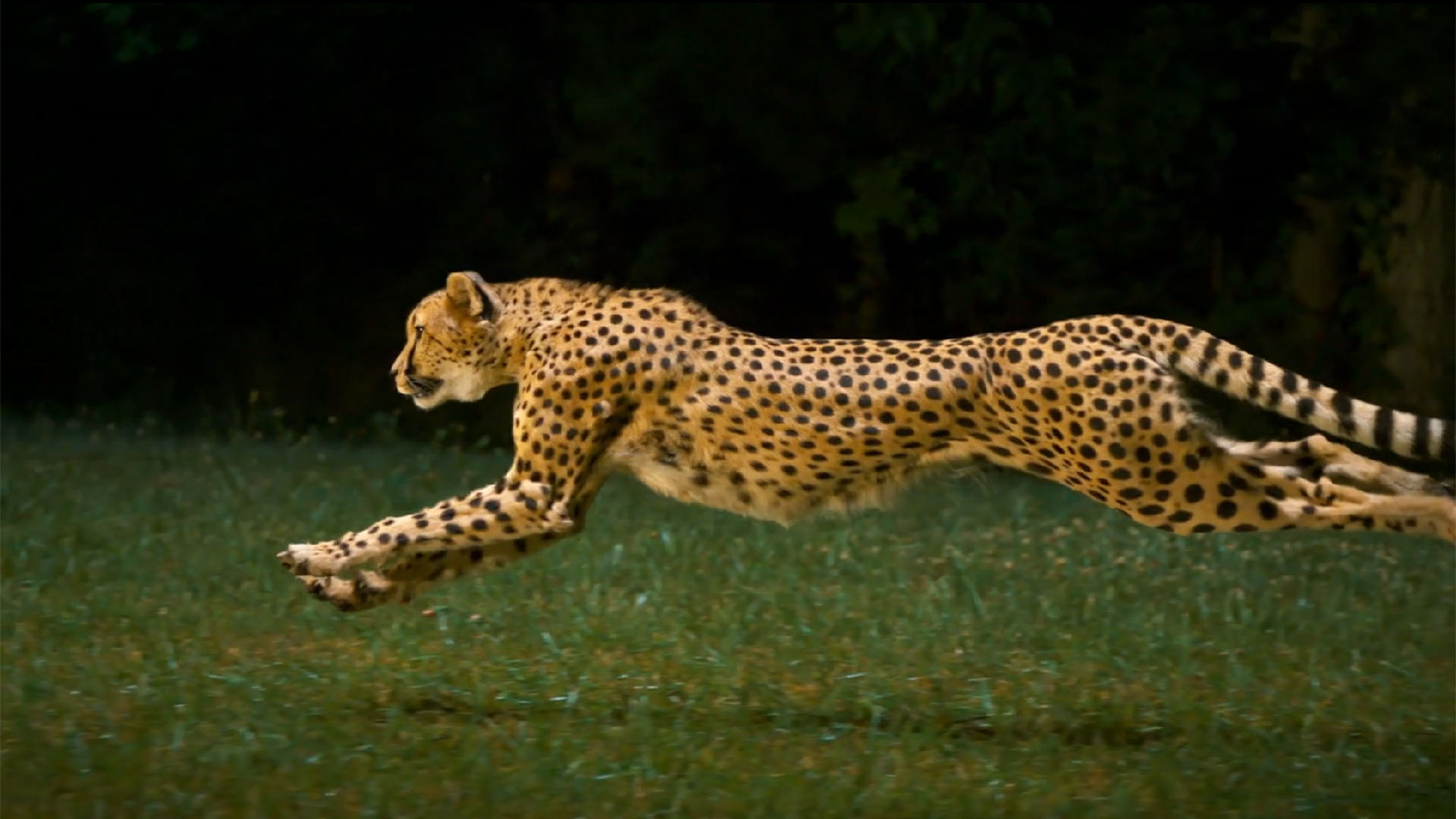245234-cheetah-running
