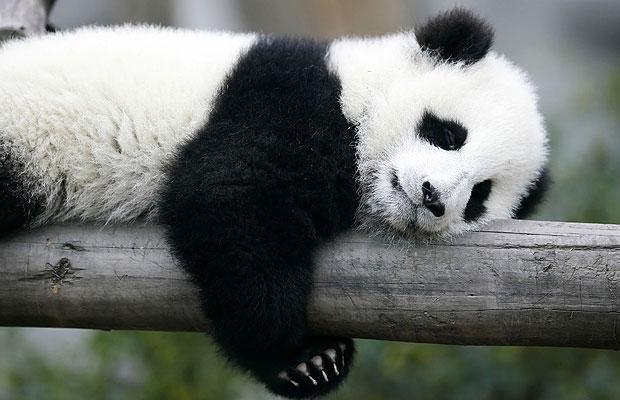 panda-sleeping_1703683i